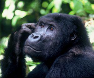 Gorilla-Trekking-africanoverland201407250201181.jpg